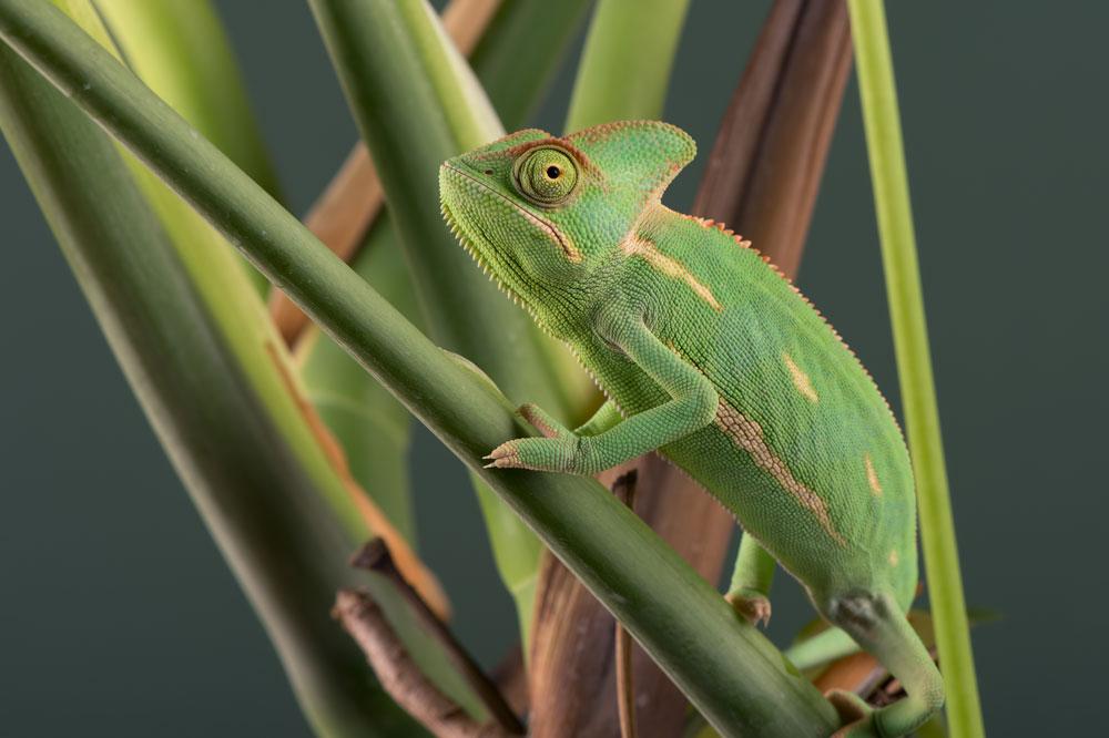 The Sugar Chameleon Hiding in Plain Sight